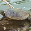 Muddy Turtle