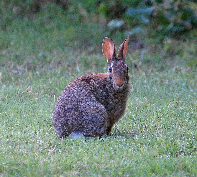 Stare Off With a Cottontail
