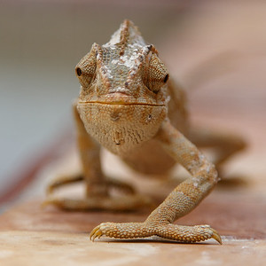 The pet chameleon of Riad Kasbah
