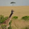 Gazing Girafe