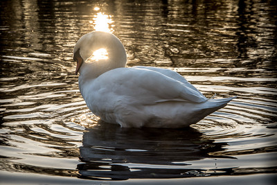 A single swan preening in calm water with golden reflections by the sunset.