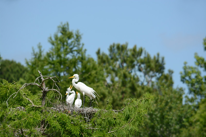 Great Egret nest on the tree.
