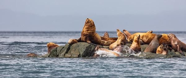 Steller Sea Lions 2