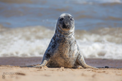 Solitary grey seal sitting up on the beach.