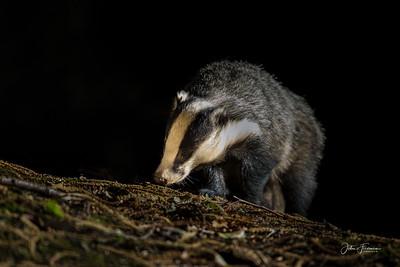 Badger, Gwynedd