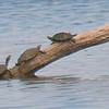 Two Map Turtles In Sunset Bay View 2