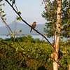 Bird on Birch Branch