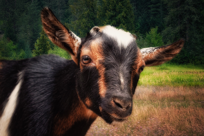 Goat in Bliss