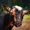 Goat in Bliss