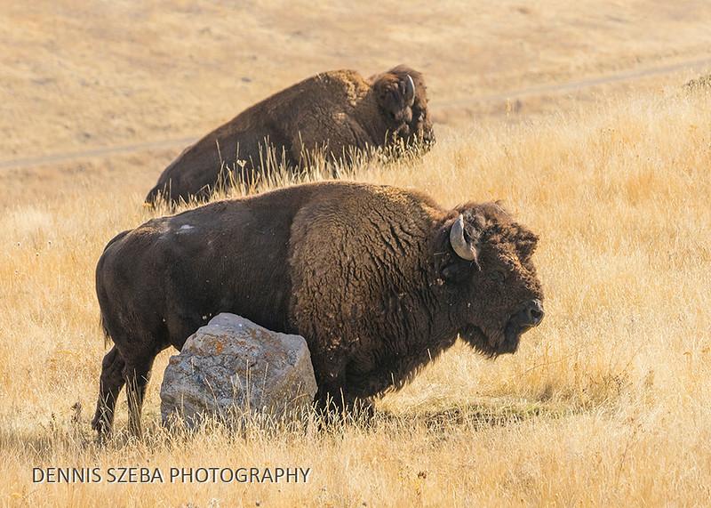 Bison. Montana 2018