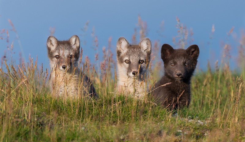 Three cubs (out of five) on top of the den in the evening sun in the Helags area. The Fennoscandian arctic fox is endangered in Sweden with only a few hundred left.