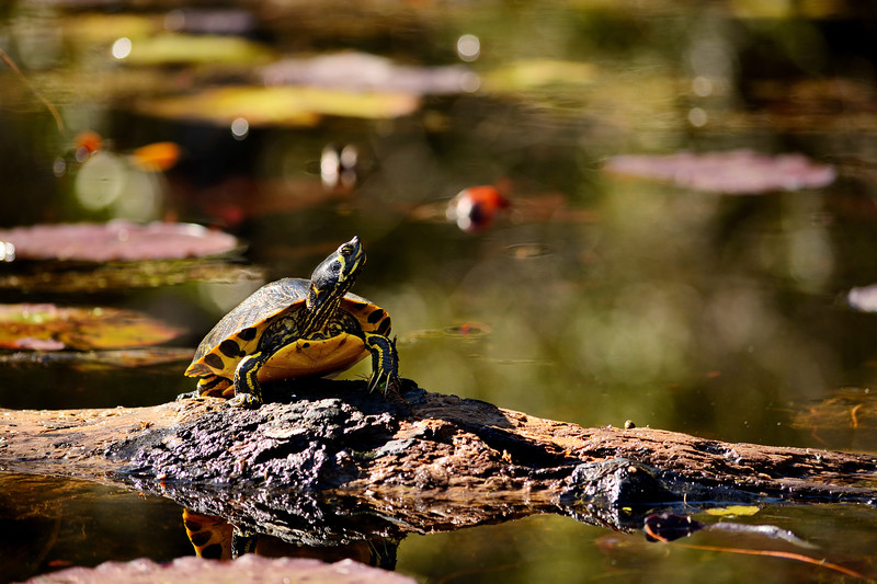 Yellow-Bellied Slider Turtle.