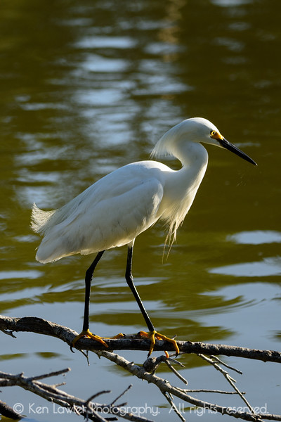 Snowy Egret watching