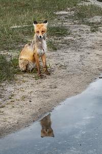 A scrawny fox near Chernobyl