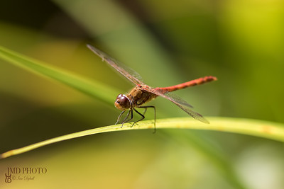 Male common darter dragonfly - Sympetrum striolatum