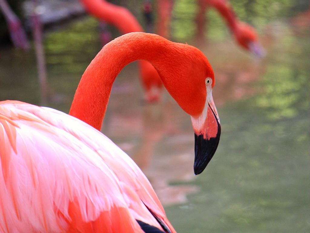 Fresno Chaffee Zoo - Flamingo