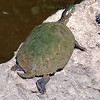 Texas Cooter View 1