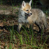 Baby Red Fox Kit