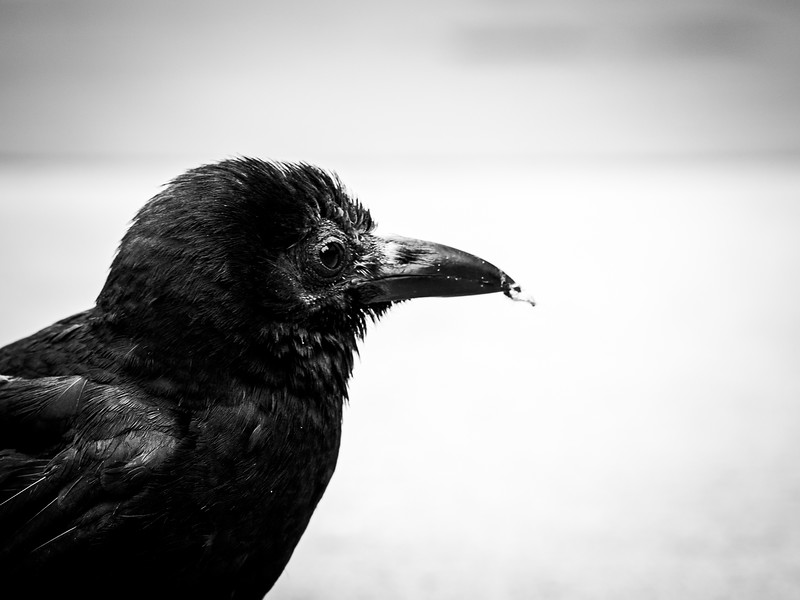 seattle-crow
