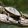 Nice Day For Sunning On A Log