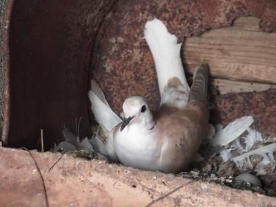 Resting Dove