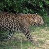 Sri Lankan Male Leopard