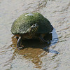Female River Cooter