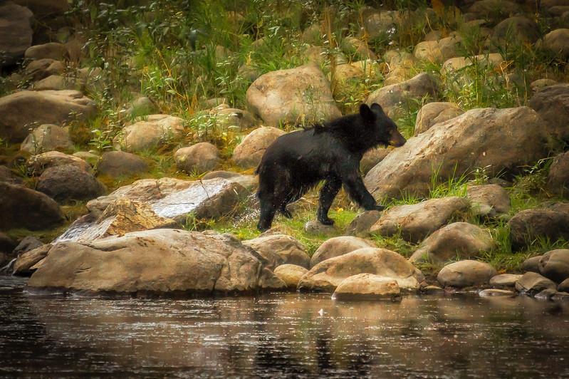 The Little Black Bear