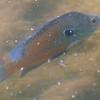 Longear Sunfish #1