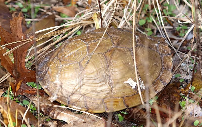 My First Wild Box Turtle