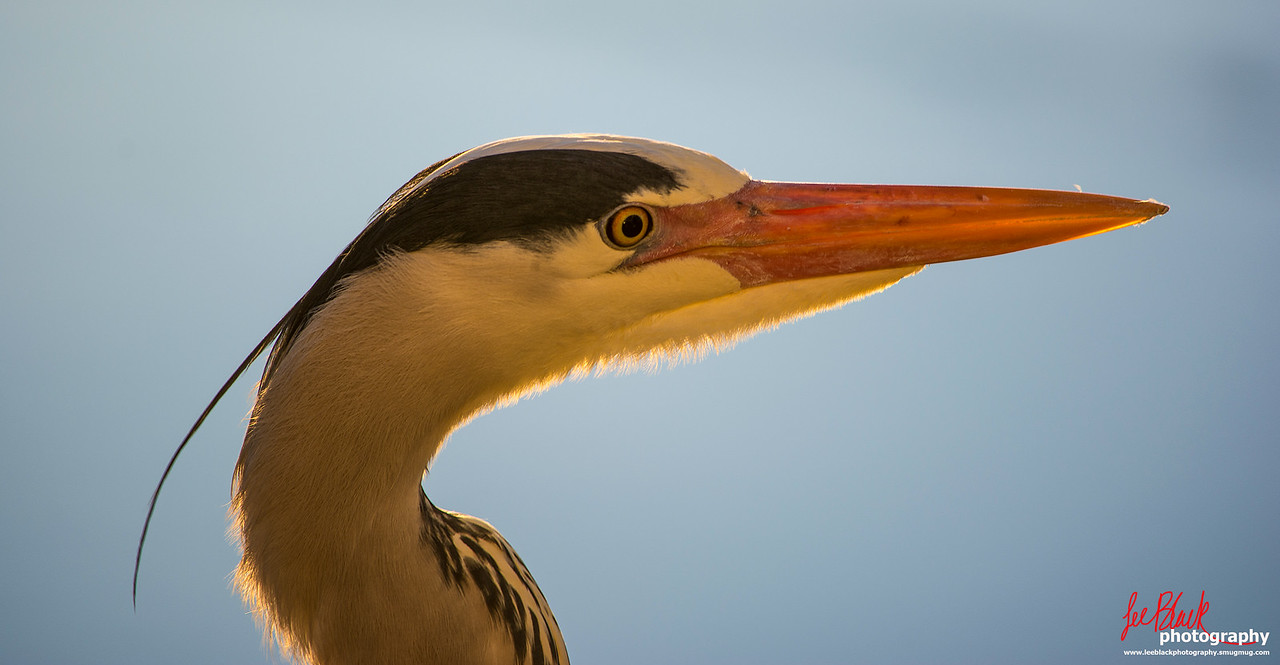 A Grey Heron at St Andrews Harbour...