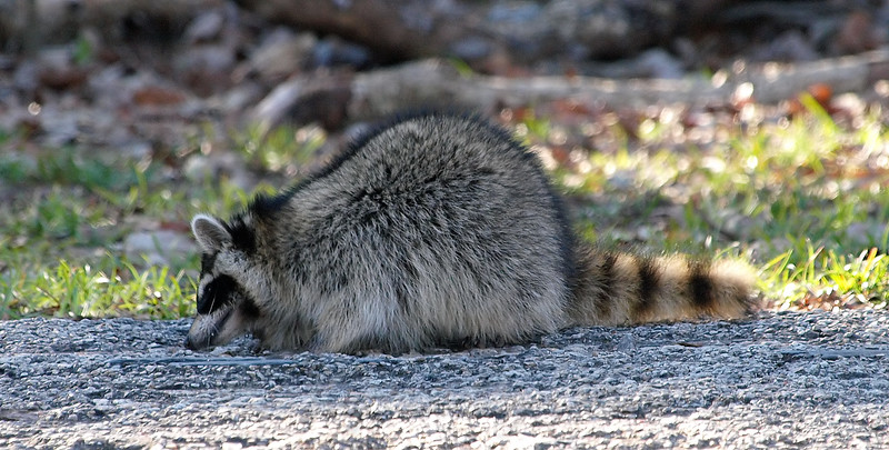 Raccoon With Distemper View 1
