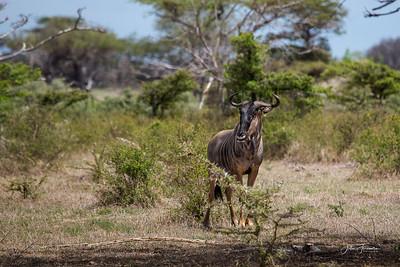 Wildebeest, Selous