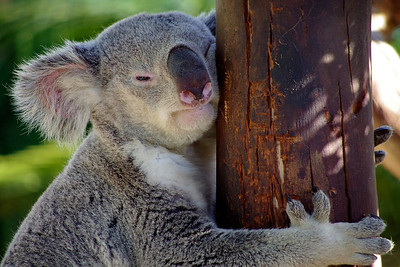 Koala Bear Wakes from Nap