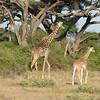 Giraffe & Babies, Tree, Foothills of Kilimanjaro, Tanzania, Africa