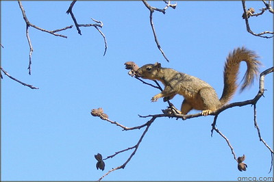 A squirrel out on a limb