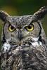 Owl Stare