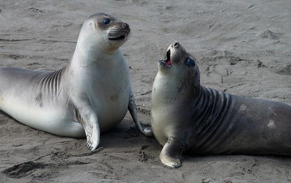 Elephant Seals, Piedras Blancas Marine State Reserve, California