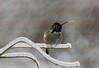 Hummingbird Catching Snowflakes
