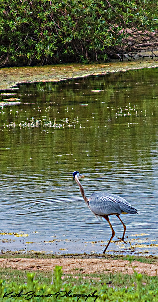 Great Blue Heron fishing for young Bass in shallows
