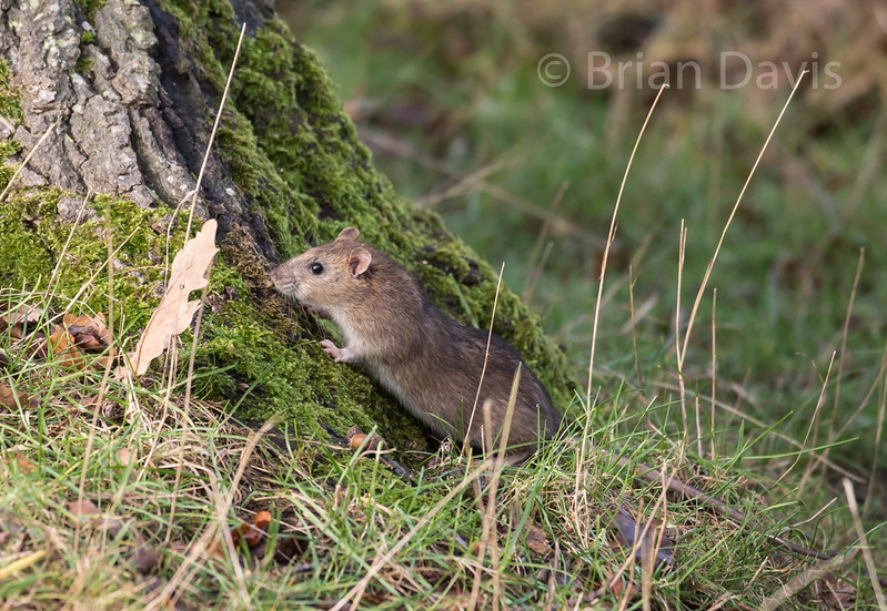 Young Brown Rat Scavenging