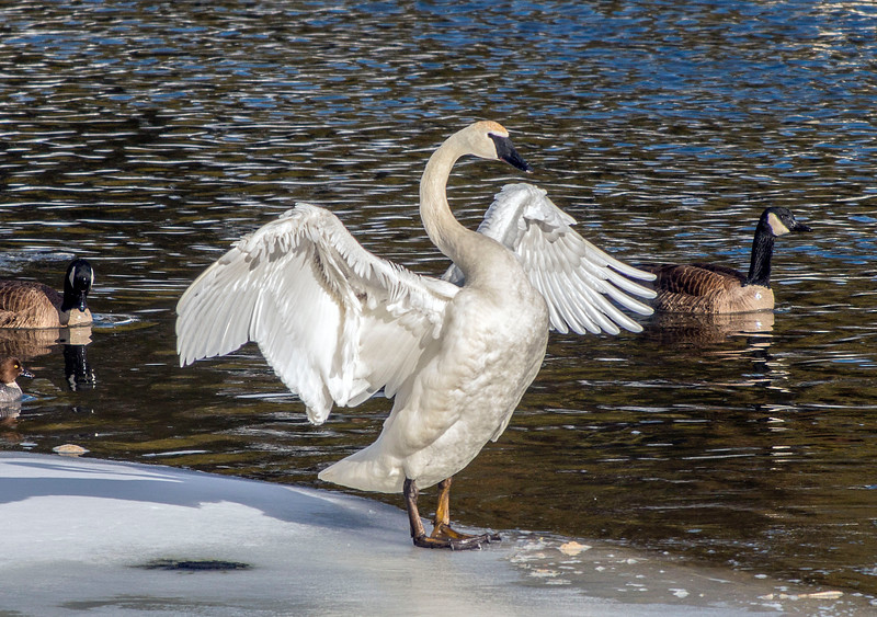 Swan At Yellowstone River