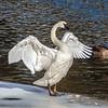 Swan At Yellowstone River