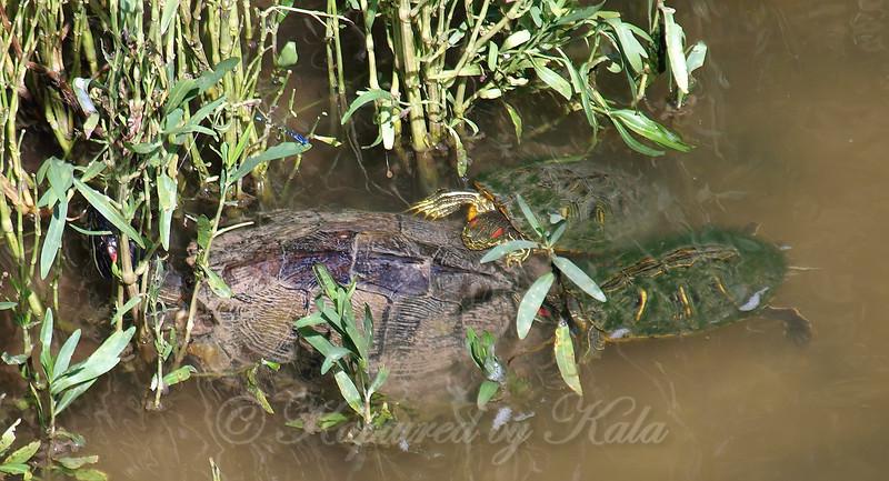Red-eared Slider Mating Behavior 9