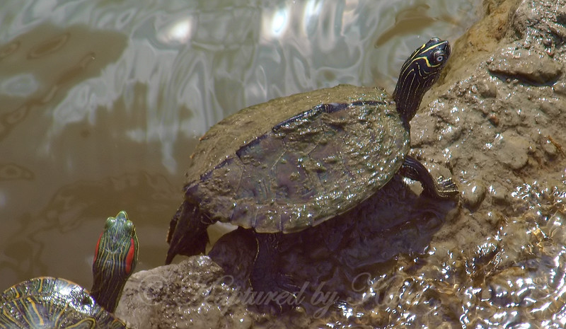 Map Turtle Close Up