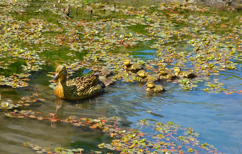 American duck with baby ducklings swimming in pond.