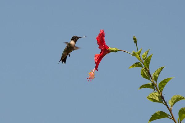 Hummingbird feeding by our house