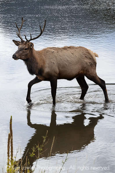 Bull Elk in water I