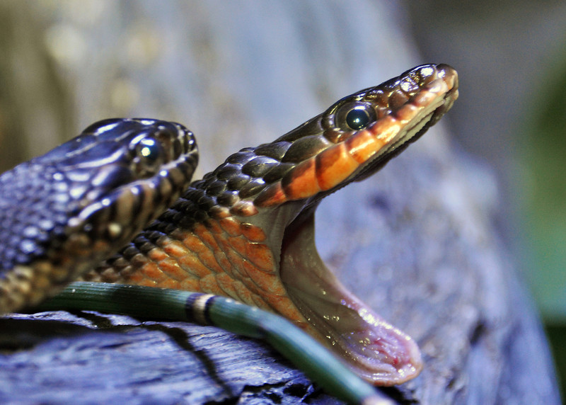 Red Belly water snake yawning. Pine Knoll Shores, North Carolina. 2012.