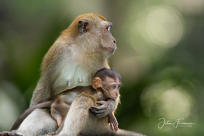 Long-tailed Macaques, Buket Timah